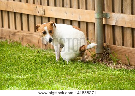 Jack Russell Terrier Pooping On Grass