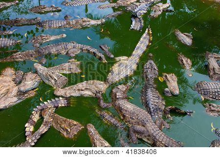 Crocodiles in water in Thailand