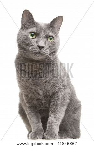 Russian Blue Cat With Green Eyes Sitting On Isolated White
