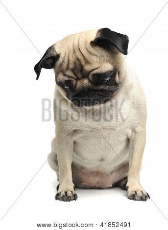 Mops, dog