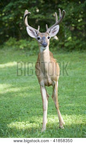 Straightaway Buck