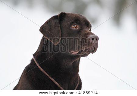 Black Labrador Portrait Outdoor