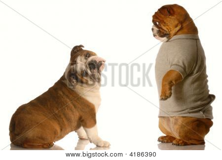 Bulldog Standing Looking At Another Unsure