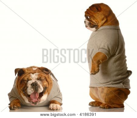 Bulldog Looking Down At Dog Laughing