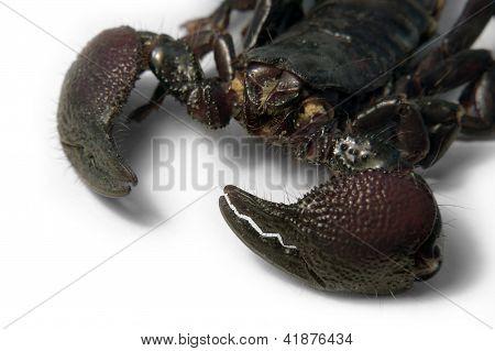 Scorpion Face Detail