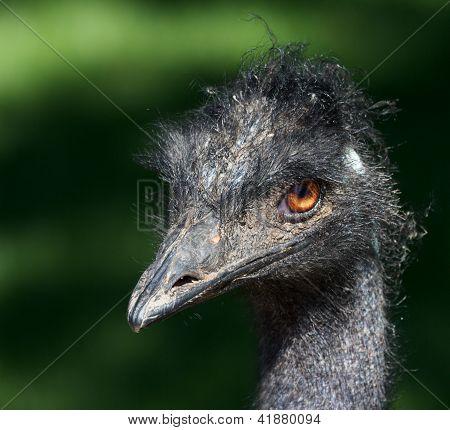 Grumpy Emu Bird 2
