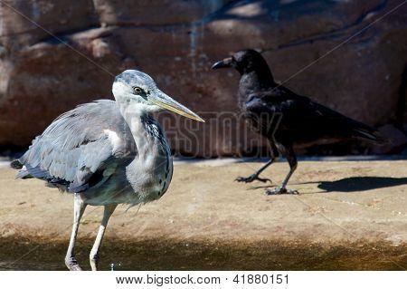Heron And Crow