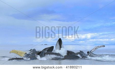 Bubble Netting Humpback Whales