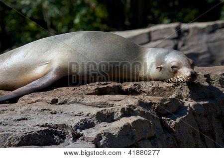 Lazy Sea Lion On A Rock 2
