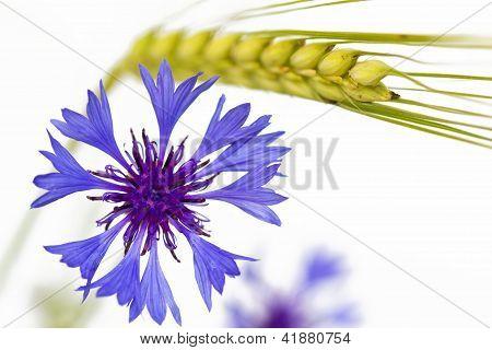 Blooming Cornflower