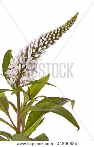 Flower Stem And Leaves Of Gooseneck Loosestrife