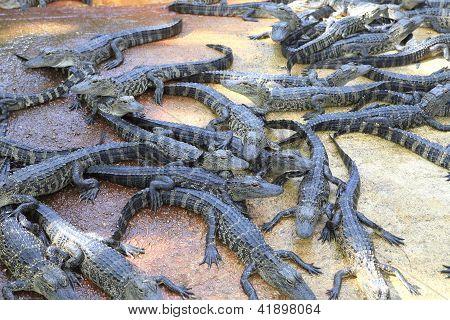 Jacarés em Everglades, Forida