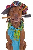 stock photo of vizsla  - dog with colorfull hat and scarf holding a paintbrush in mouth on white background - JPG