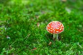 picture of hallucinogens  - Beautiful red cap of amanita mushroom in the forest - JPG