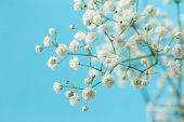 stock photo of small-flower  - Gypsophila  - JPG