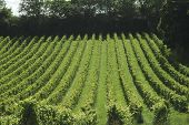 picture of dork  - Rows of vines in english vineyard at Dorking - JPG
