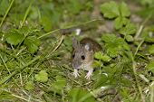 image of field mouse  - Wood Mouse or Long Tailed Field Mouse  - JPG