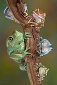 stock photo of red eye tree frog  - Many varieties of tree frogs are sitting together on a brach - JPG
