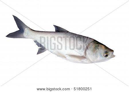The Fish Silver Carp.