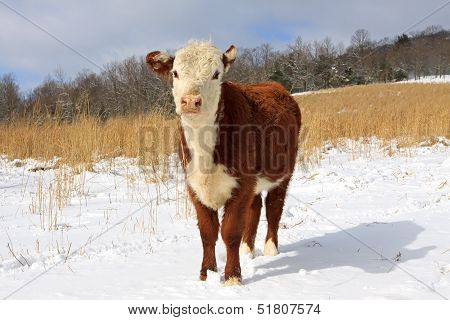 Young Hereford