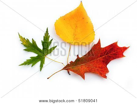 Three autumnal leaves on white background