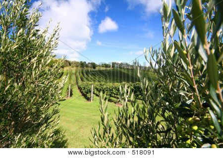 Olive Tree Along A Vineyard