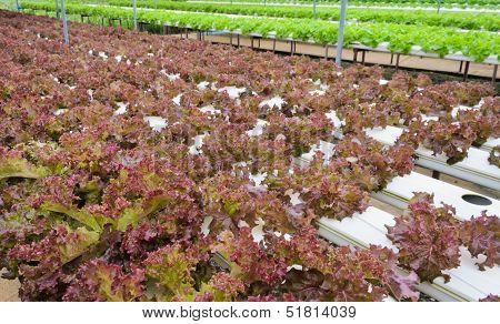 Red Lettuce Plantation
