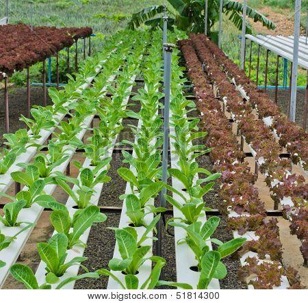 Leaf Lettuce Plantation