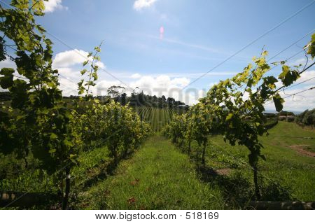 Vineyard Rows Low View
