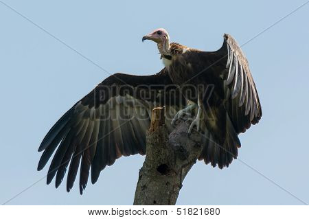 Hooded Vulture With Wings Spread