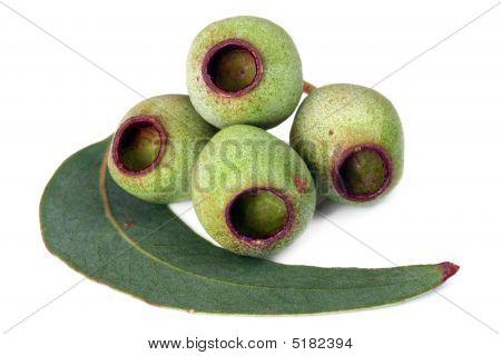Gumnuts y hoja