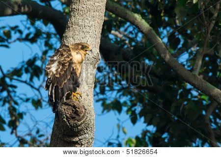 Young African Harrier Hawk Calling