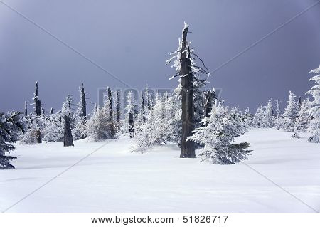 snow-covered spruce