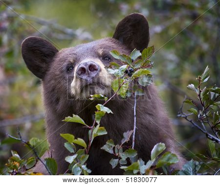 Cinnamon-colored Black Bear