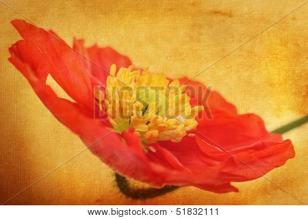 Poppy flower with textured background applied.