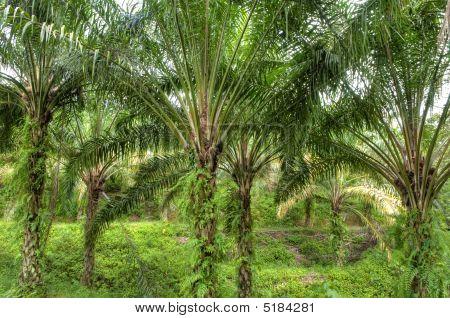 Palm Oil Plantation.