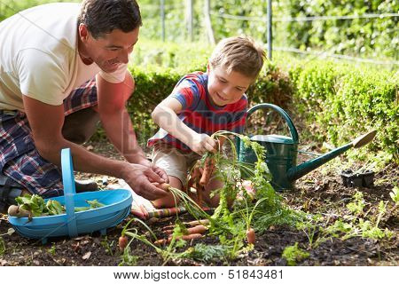 Father And Son Harvesting Carrots On Allotment