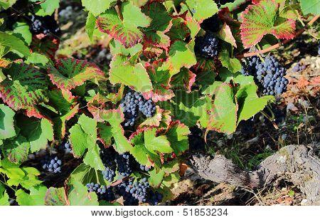 Pinot Noir Vines, Grapes