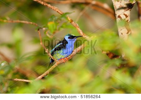 Blue Green Bird in Rainforest