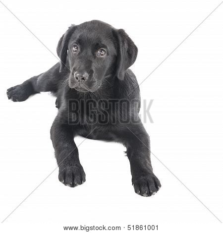 Black Lab Puppy, Two Months Old