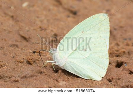 Male Butterfly - African Migrant