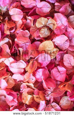 Bouganvillea Petals