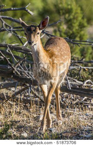 Fallow Deer Yearling