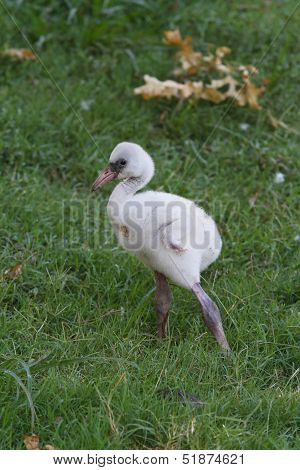 Baby Flamingo