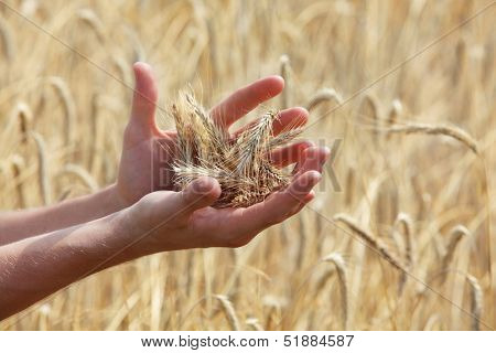 ears of rye on hands, blur rye filed in background