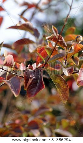 Close Up Of Leaves Of A Crepe Myrtle Lagerstroemia Indica, Or Lipstick Tree, Leaves Turning Red In M