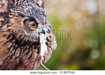 Eurasian Eagle-Owl eating