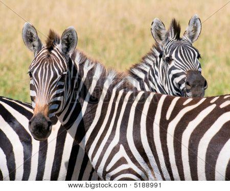 Two Zebras, Masai Mara, Kenya