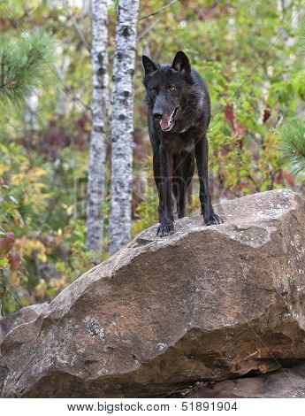 Wolf on a rock