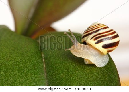 Small Grove Snail On Green Leaf